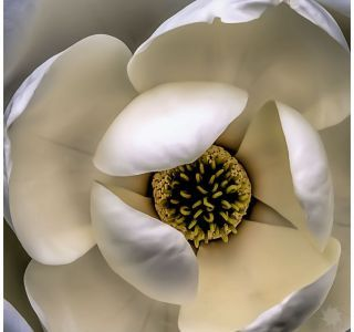 Backyard Magnolia Closeup